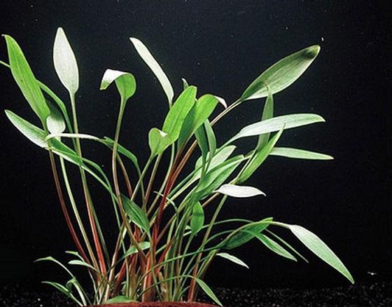 Растение Cryptocoryne Nevilii Trimen