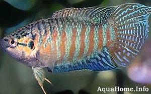 Райская рыбка