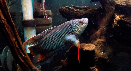 Macropodus concolor в аквариуме