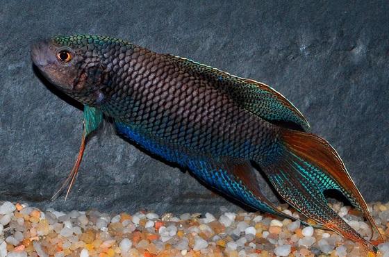 Рыбка Macropodus concolor