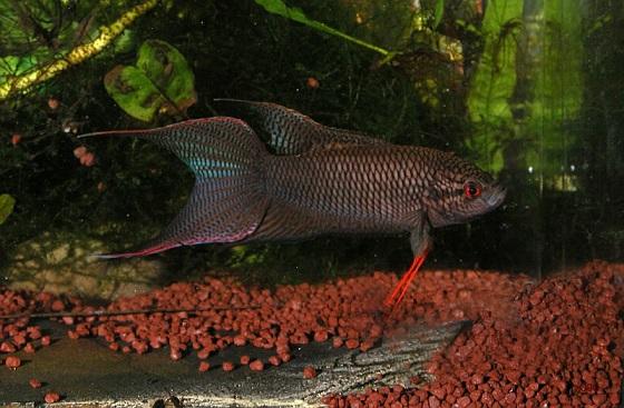 Рыбка Макропод черный