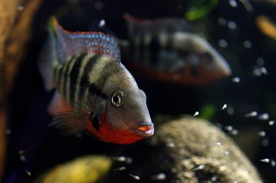 Цихлазома меека в аквариуме