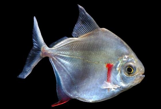 Метиннис серебристый - Metynnis argenteus