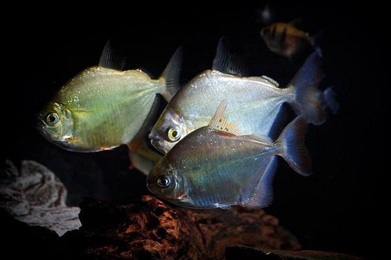 Метиннис серебристый в аквариуме