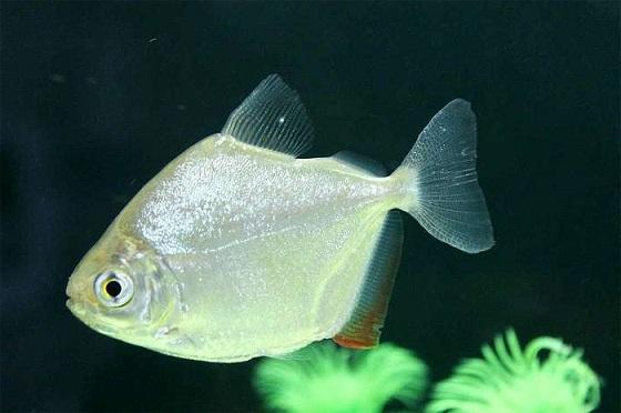 Рыба Метиннис серебристый - фото
