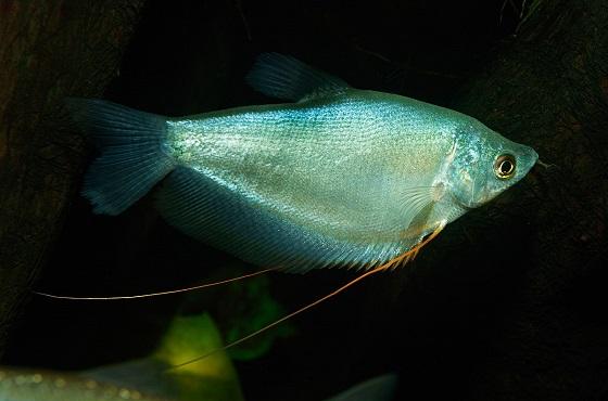 Trichogaster microlepis в аквариуме