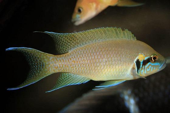 Принцесса Бурунди - Lamprologus brichardi