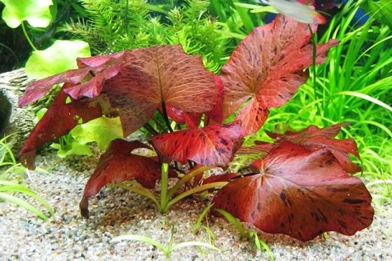 Аквариумное растение Нимфея