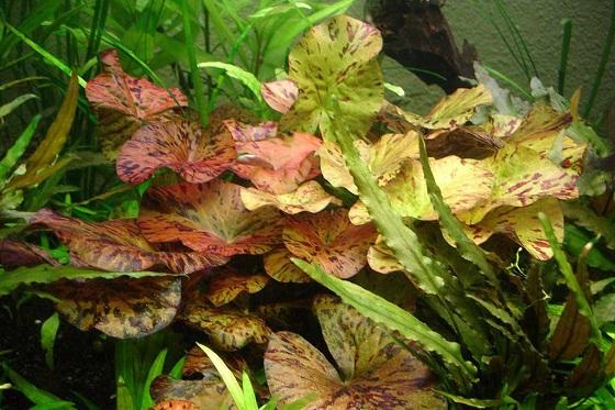 Растение Nymphаea