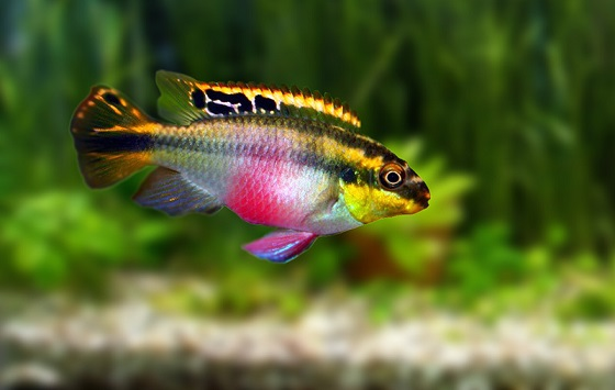 Рыбка Попугайчик, или Пельвикахромис Пульхер