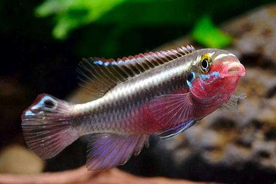 Рыбка Попугайчик - Pelvicachromis pulcher