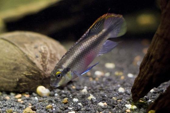 Пельвикахромис Пульхер - Pelvicachromis kribensis