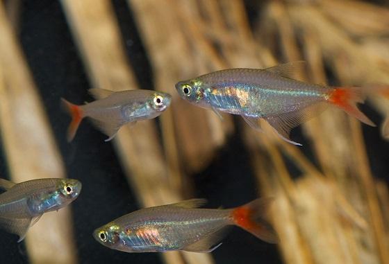Prionobrama filigera в аквариуме