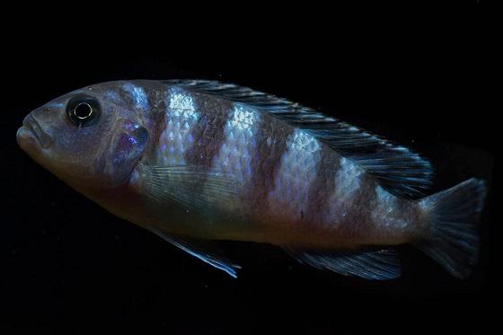 На фото Pseudotropheus lombardoi
