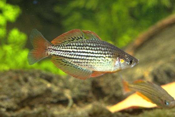 Melanotaenia maccullochi или Радужная Рыбка
