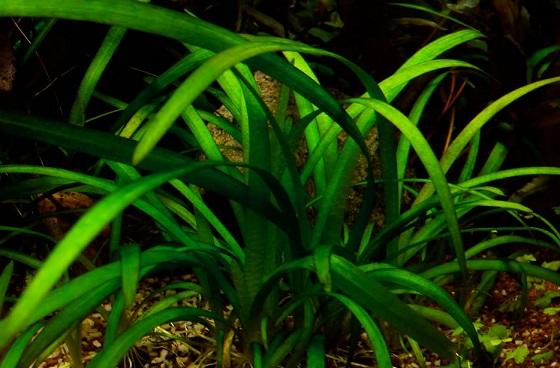 Аквариуное растение Сагиттария