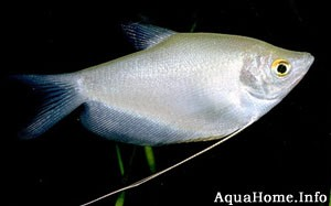 Trichogaster microlepis