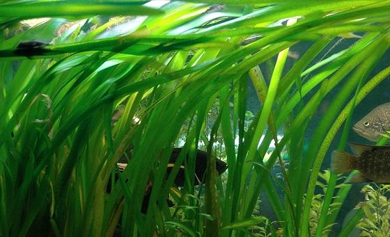 Растение Валлиснерия гигантская