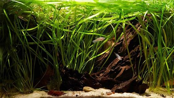 Аквариумное растение Валлиснерия гигантская