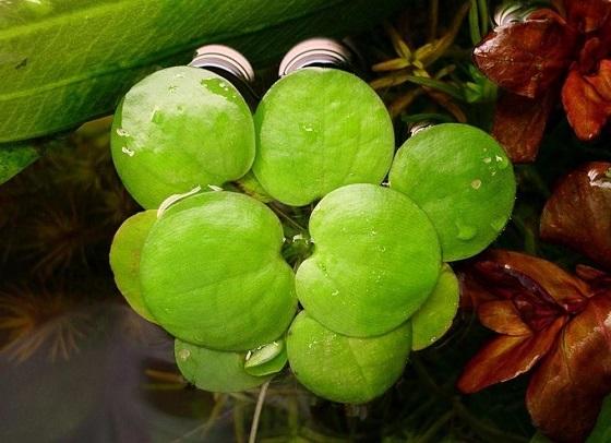 Лимнобиум побегоносный - Limnobium stoloniferum