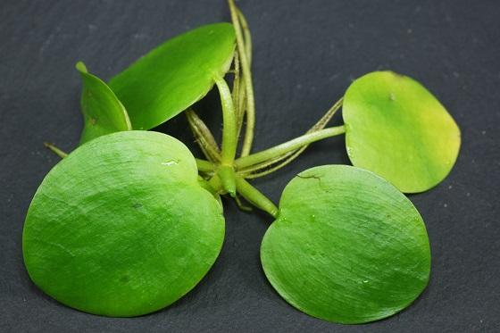 Растение Лимнобиум побегоносный