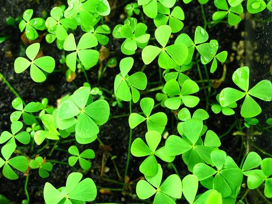 Растение Marsilea quadrifolia