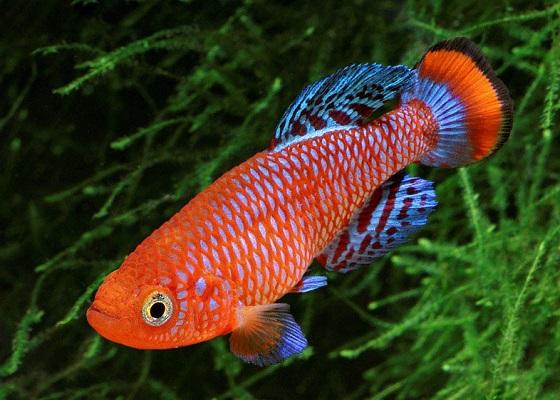 Nothobranchius rachovi в аквариуме