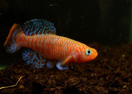 Рыбка Nothobranchius rachovi