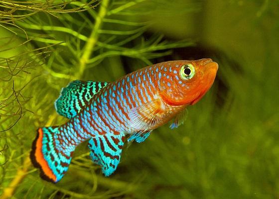 Нотобранхиус Рахова в аквариуме