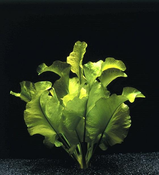 Nuphar japonicum