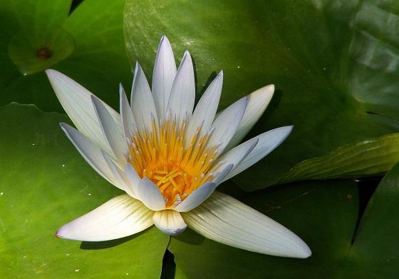 Растение Морская роза