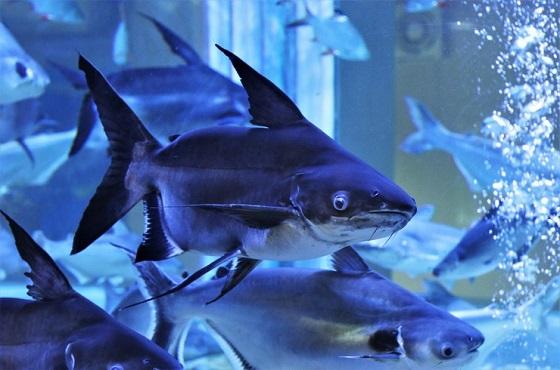 Акулий сом Пангасиус
