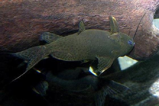 Синодонтис нигрита - синодонтис бурый