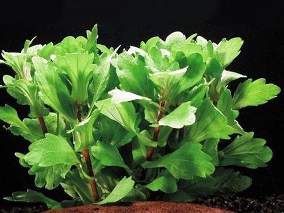 Аквариумное растение Мексиканский дубок