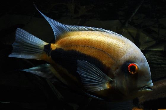 Уару - Uaru amphiacanthoides