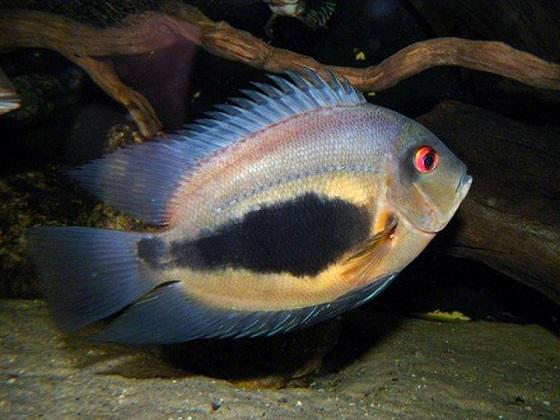 Рыба Уару