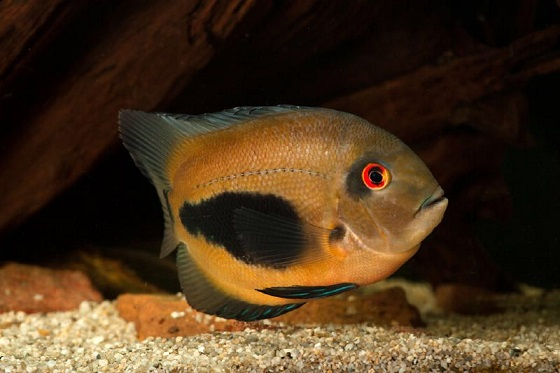 Рыба Уару - Uaru amphiacanthoides