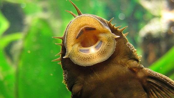 Фото Ancistrus dolichopterus