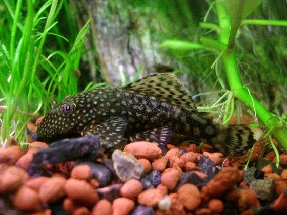 Ancistrus cirrhosus в аквариуме