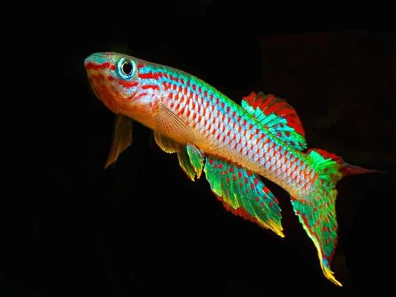 Рыба Афиосемион габонский - Aphyosemion gabunense