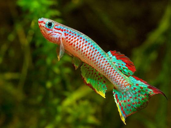 Рыба Aphyosemion gabunense