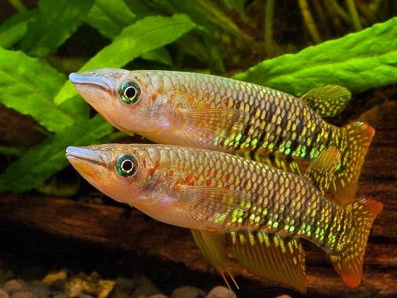 Фото Aplocheilus lineatus