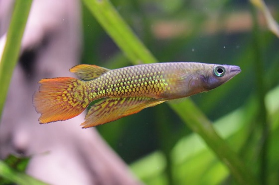Рыбка Линеатус