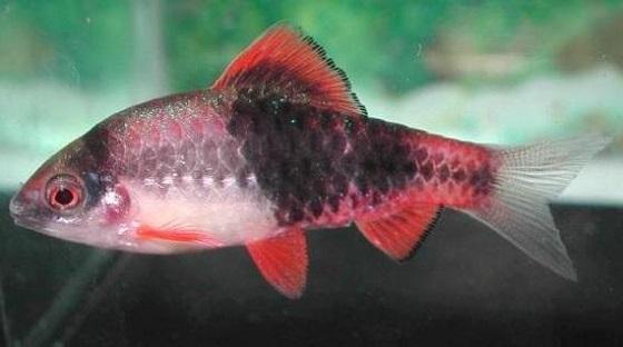 Рыбка Puntius fasciatus