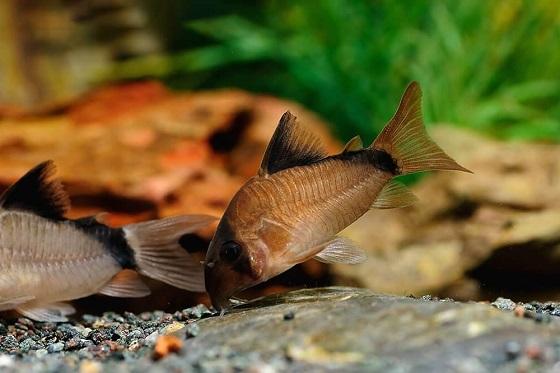 Сомик Мета в аквариуме