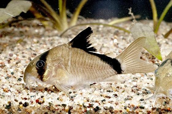 Corydoras metae в акваруиме
