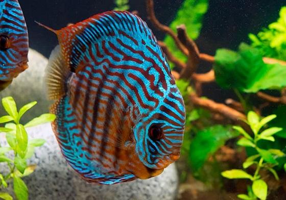 Дискус голубой в аквариуме