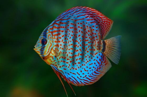Рыбка Дискус голубой
