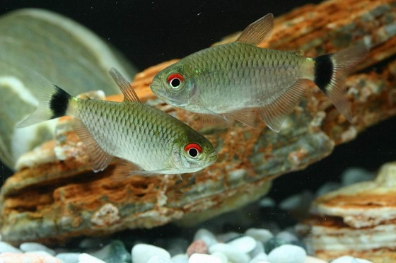 Рыбка Филомена - Moenkhausia sanctae filomenae