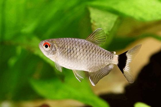 Аквариумная рыбка Филомена